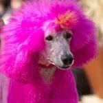 全身カラーリングされた犬が、中国で大人気!その実情はとても残酷なものです!