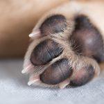 犬の指は何本生えているのが普通?犬の指の基本構造と「狼爪・多指症」について解説!