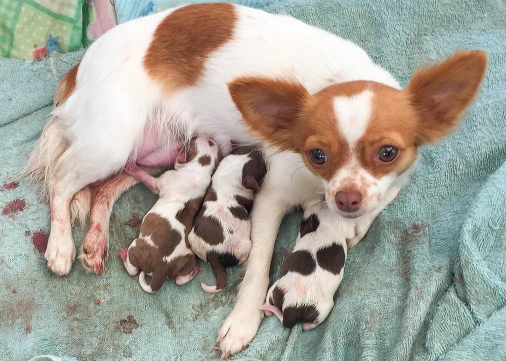 犬の交配、妊娠から出産まで