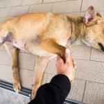 犬用心臓マッサージと人工呼吸法を詳しく解説!愛犬命の危機に備えて覚えておくべき「犬のCPR(心配蘇生法)」