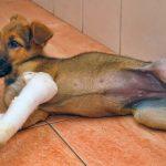 愛犬の脱臼に要注意!部位ごとに違う脱臼治療法とその対策について