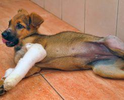 愛犬の脱臼に要注意
