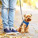 子犬のお散歩デビューはいつから?散歩の回数や距離、しつけの方法