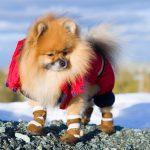 犬用の靴が必要になる時ってどんなとき?愛犬に靴を履かせるメリットとは