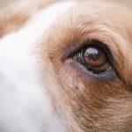 犬の目やには病気のサイン?目やにの原因・自宅でのケア方法について