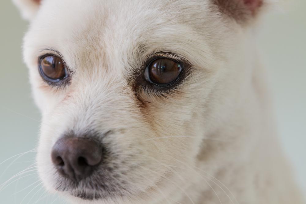 犬の目やには病気のサイン