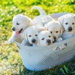 【愛犬の兄弟探し】血縁関係、親戚を見つける方法とそのメリット