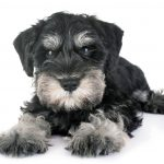 【髭犬祭】シュナウザー愛犬家たちのビッグイベント!詳細情報や口コミまとめ