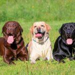 大型犬の種類や魅力、人気ランキング|大型犬の飼い方注意点についても解説