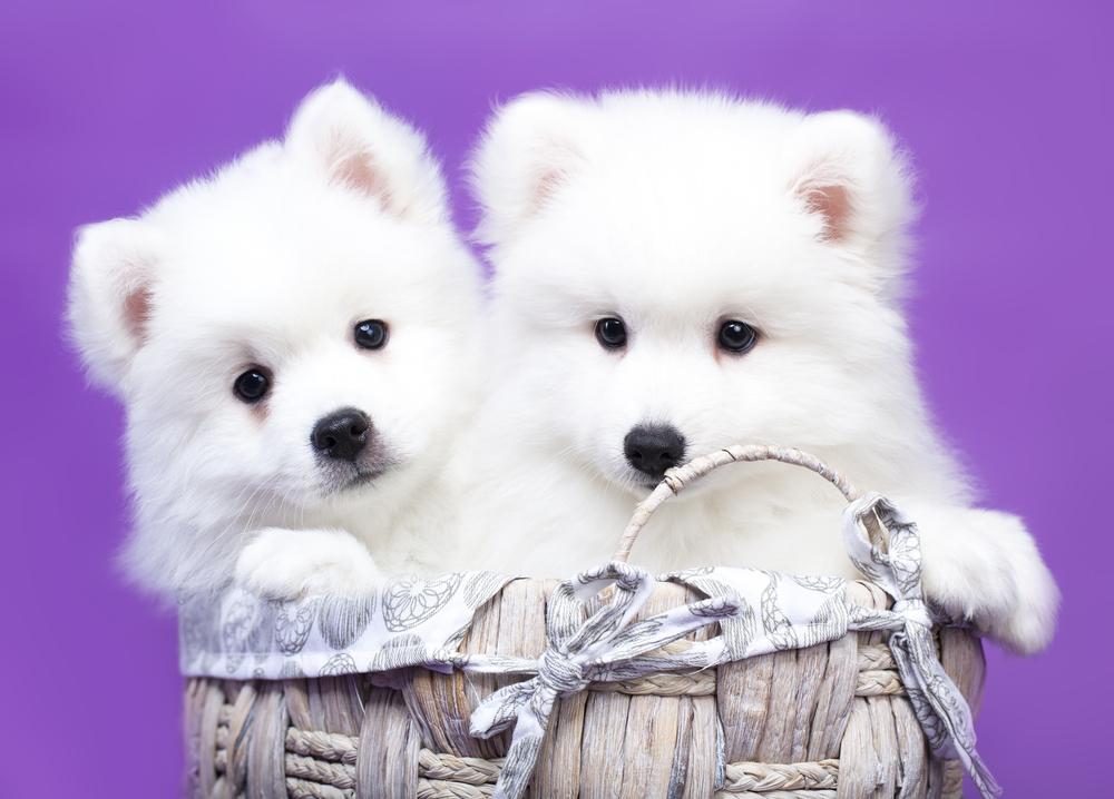 日本人が白い犬が好きな理由