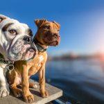 犬の多頭飼いメリットデメリット!先住犬にストレスを与えない為の注意点など