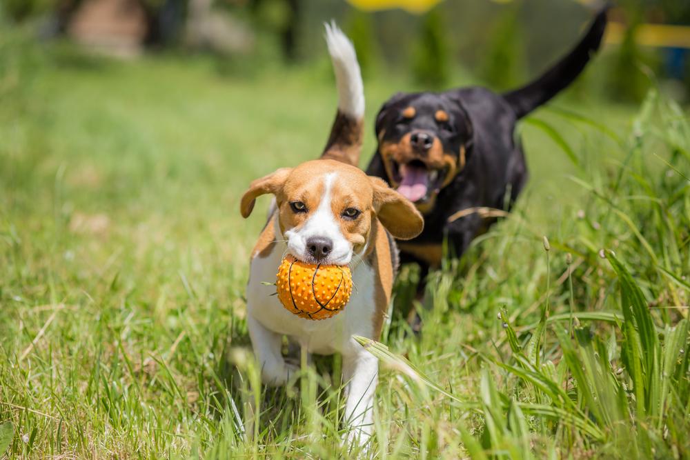 犬の多頭飼いメリットデメリット