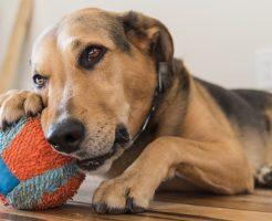 知育玩具で愛犬の脳トレ