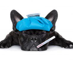 犬風邪は人にうつる?