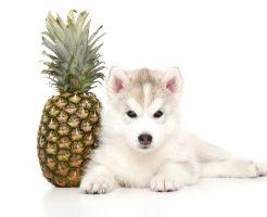犬にパイナップルを食べさせるメリット